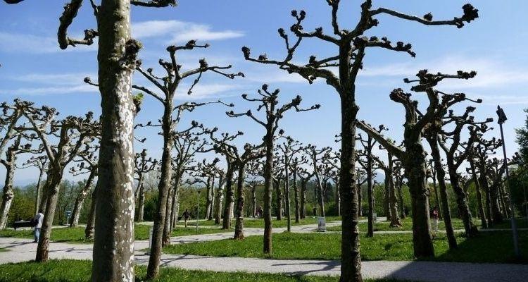 tailler les arbres à haute-tige